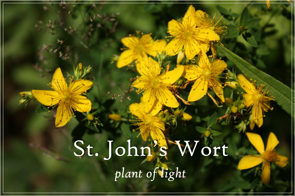 St John's Wort – The Plant of Light