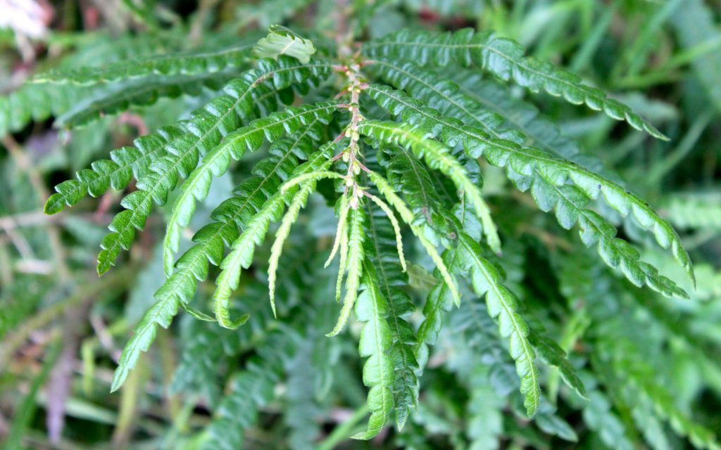 Sweet Fern is ideal when the rash has already erupted