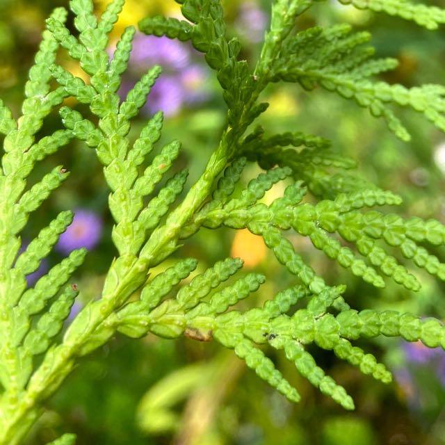 How To Identify Cedar